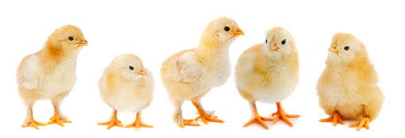Poultry Farming In Pakistan Guide In Urdu 05